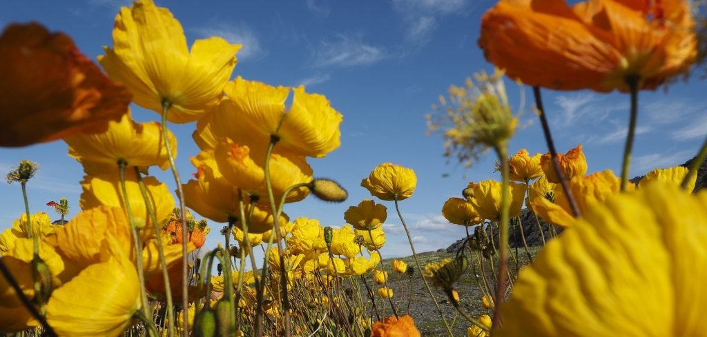 When in full bloom, the California golden poppies set the state's rolling hills ablaze.
